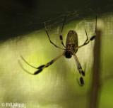 Golden Orb Spider, Arenal Volcano 2