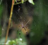 Golden Orb Spider, Manuel Antonio