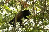 Howler Monkey,  Manuel Antonio   2