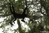 Howler Monkey,  Manuel Antonio   4