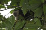 White Faced Capuchin Monkey,  Manuel Antonio  8
