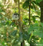 Mammals Costa Rica Manuel Antonio Squirrel Monkey B Klipp Jan 2012 63asA.jpg