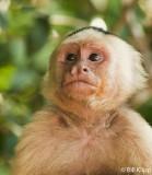 White Faced Capuchin Monkey,  Manuel Antonio  7