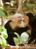 White Faced Capuchin Monkey,  Manuel Antonio  6
