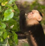 White Faced Capuchin Monkey,  Manuel Antonio  5
