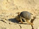 Hermit Crab,  Granito de Oro   3