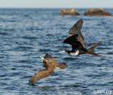 Frigate Bird stealing from a Brown Booby,   Bona Island  1