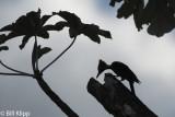 Lineated Woodpecker, El Castillo  2