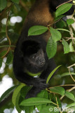 Howler Monkey,  Manuel Antonio   5