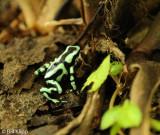 Poison Dart Frog, El Castillo  1