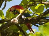 Scarlet Macaw, Corcovado Ntl Park   2