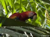 Scarlet Macaw,  Golfo Dulce  3