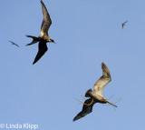 Birds Frigate n Pelican Bona n Otoque Islands Panama L Klipp Feb 2012 03914 asA.jpg