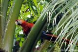 Scarlet Macaw,  Casa Orquideas  1