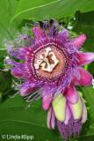 Passion Flower,  Manuel Antonio 1