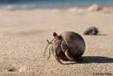 Hermit Crabs, Granito de Oro  2