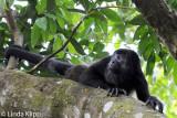 Howler Monkey,  Manuel Antonio Ntl Park  1