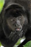Howler Monkey,  Manuel Antonio Ntl Park  3