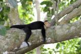 White Face Capuchin Monkey,  Manuel Antonio  16