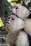White Face Capuchin Monkey,  Manuel Antonio  11