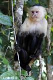 White Face Capuchin Monkey,  Manuel Antonio  2