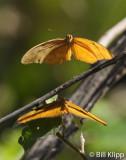 Butterfly, Baracoa  Cuba  1