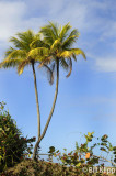 Double Palm Tree, Baracoa Cuba  1
