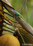 Blue Headed Anole,  Varadero  1