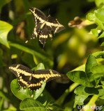 Giant Swallowtail Butterfly  4