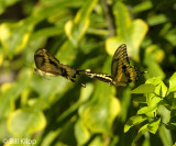 Giant Swallowtail Butterfly  5