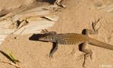 Whiptail Lizard  1
