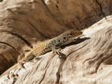 Whiptail Lizard  2
