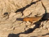 Side Blotched Lizard  2
