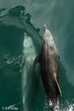 Bottlenose Dolphins   9