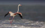 Greater Flamingo in Thailand