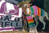 Chihuahua's Taco Bell Hispanic costume