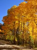 Colorful Aspen grove