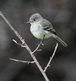 Gray Flycatcher, Oakland, January 2010