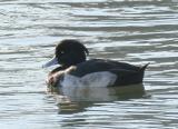 Tufted Duck, Lake Merritt, Oakland, November 2005