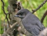 Gray Jay