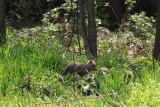 red_fox_2012