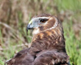 Northern Harrier , female