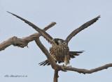 Peregrine Falcon, Merritt Island,Fl.