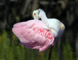 Spoonbill ,what lovely color.