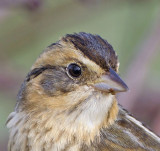 Saltmarsh-sharp-tailed Sparrow