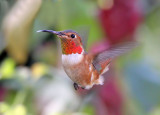 Allen's Hummingbird   2-8-2009