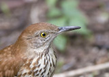 Brown Thrasher Head Image, 01-25-2008