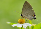 asian_comma_butterfly