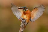kingfisher_2012_jan