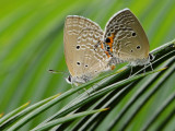 plains_cupid_butterfly